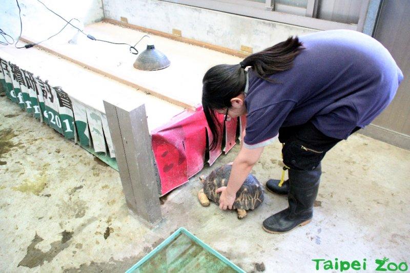 傍晚前保育員要把陸龜一隻隻抱回室內,清點數量(台北市立 動物園)
