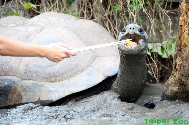 亞達伯拉象龜「大胖」總要保育員用食物引誘才肯回家(台北市立 動物園)
