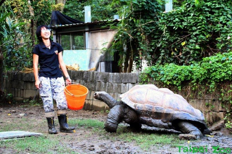 亞達伯拉象龜「大胖」,一口一步慢慢走回溫暖的龜窩(台北市立 動物園)