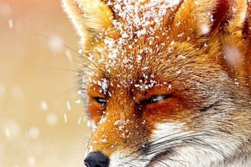 喜歡也罷,討厭也罷,狐狸已經選擇了英國的城市生活。生活在城市裡的人,恐怕只能學會與「狐」共舞。(BBC中文網)