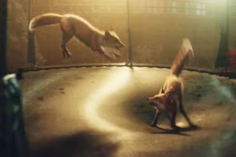 英國百年連鎖百貨公司「約翰路易斯」2016年的聖誕廣告裡,平安夜,2隻狐狸跳到蹦跳牀上翻騰跳躍,好不逍遙。(BBC中文網)