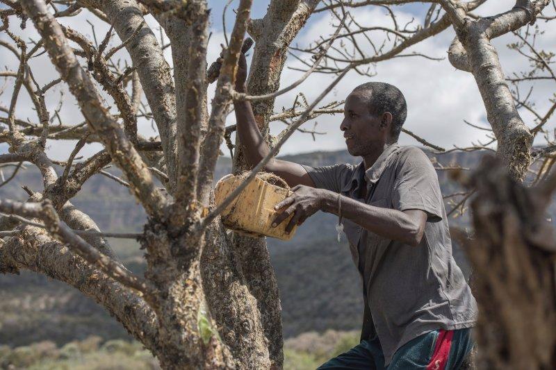 東非索馬利蘭(Somaliand),全世界最後一處野生原始的「乳香木」(frankincense)森林。(資料照,AP)