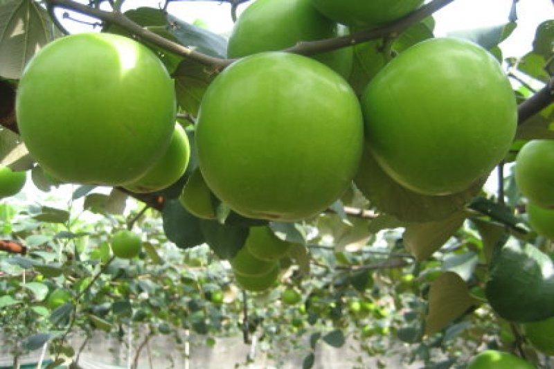 行政院長蘇貞昌26日上午表示,台灣農業又有好消息,歷經10年協商,韓國動植物防疫局公告,台灣成為全球唯一可以把蜜棗鮮果往韓國輸銷的國家。(資料照,取自農委會)