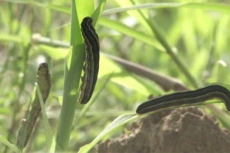 粘蟲可以吃掉所經之處的所有植被。(BBC中文網)
