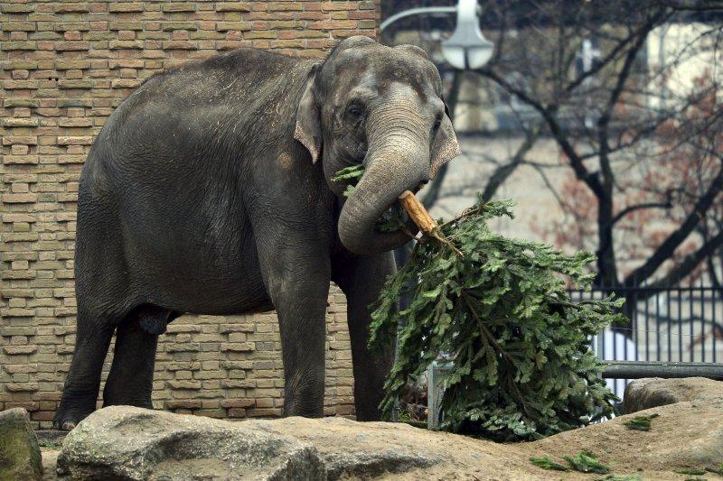 人類不要的聖誕樹對大象而言是完美的零食。(美聯社)