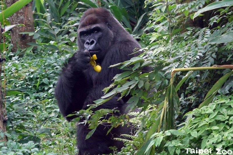 金剛猩猩「迪亞哥」7日在台北市立動物園非洲區正式亮相(台北市立動物園)