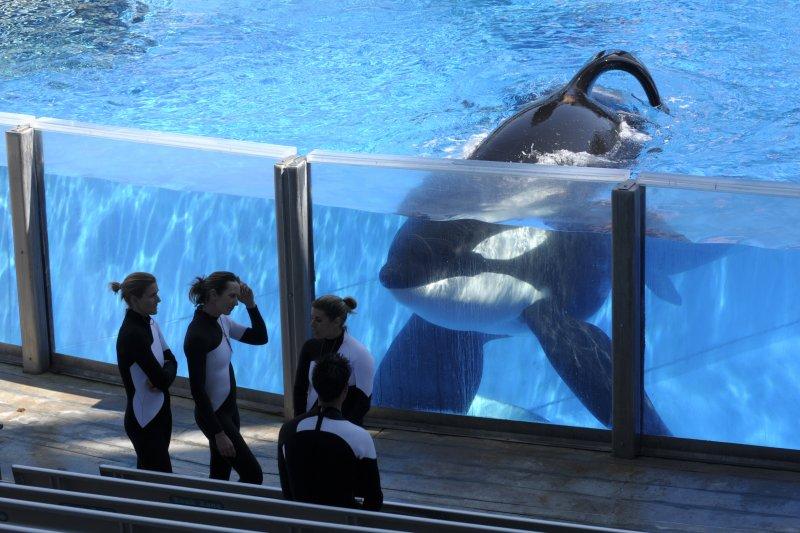 美國知名虎鯨提利康去世,2013年以其為主角的反動物表演紀錄片《黑鯨》引發廣大回響。(美聯社)