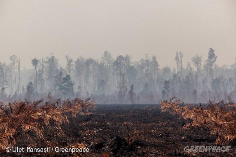 焚燒雨林,不但讓寶貴的天然資源消失,更傷害棲息其中,無辜的雨林動物...(圖/綠色和平)