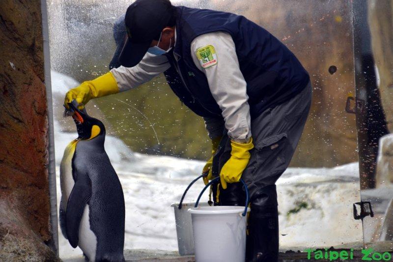 台北市動物園管理員食國王企鵝,是一門學問。(台北市政府提供).JPG