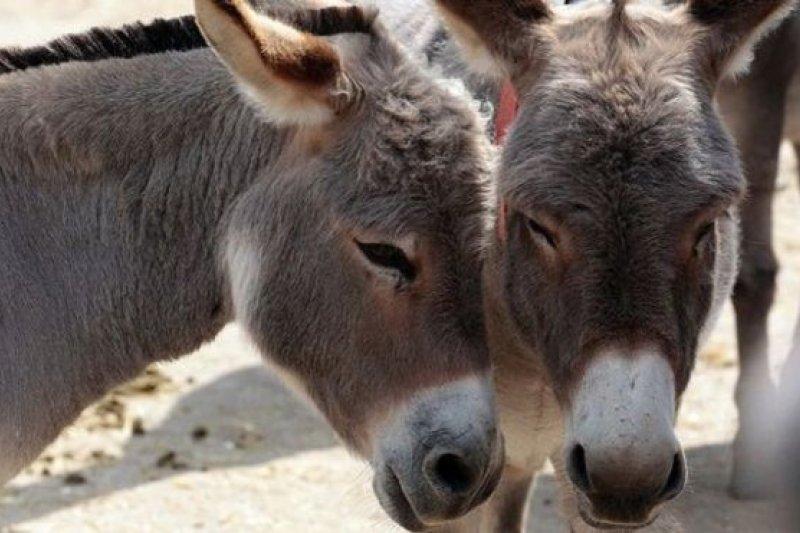 中國阿膠需求大,南非驢皮非法交易暴增。(圖取自BBC中文網)