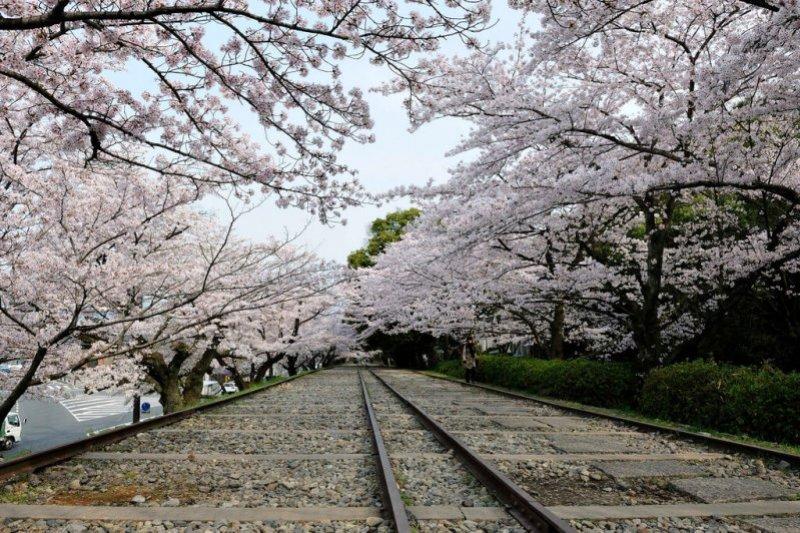 說到去日本賞櫻,台灣人尤其愛去京都賞櫻旅遊,帶你來認識京都五大名所賞櫻攻略!(圖/kin@flickr)