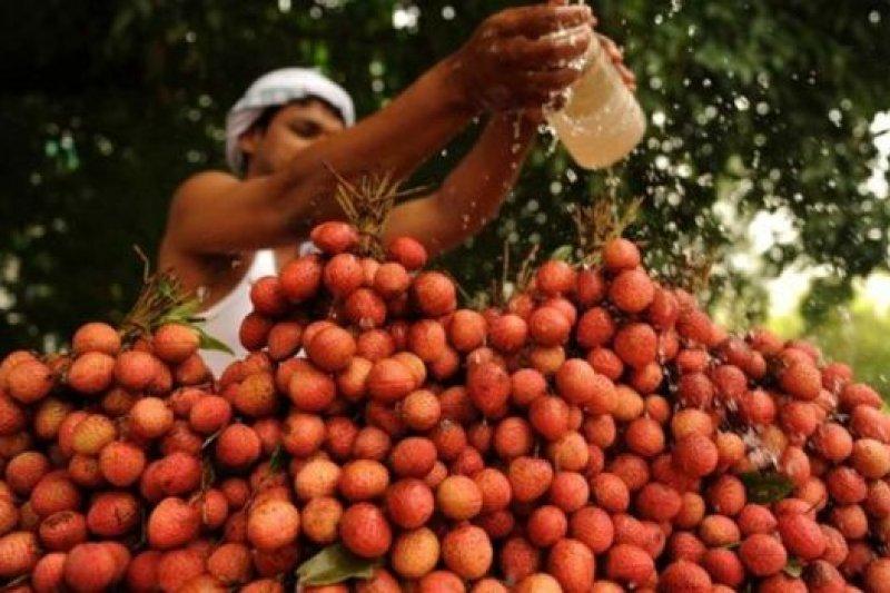 困擾了印度北部荔枝產地醫生多年的兒童怪病,竟然是由於空腹吃荔枝引起的。(圖取自BBC中文網)