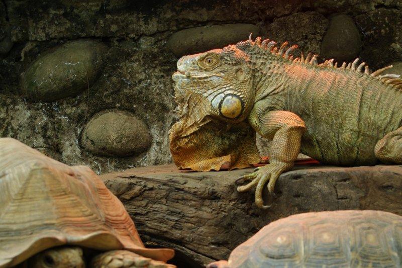爬蟲區的動物會隨著環境溫度變換體溫,保育員全天候開啟保溫燈。(新竹市立動物園提供)