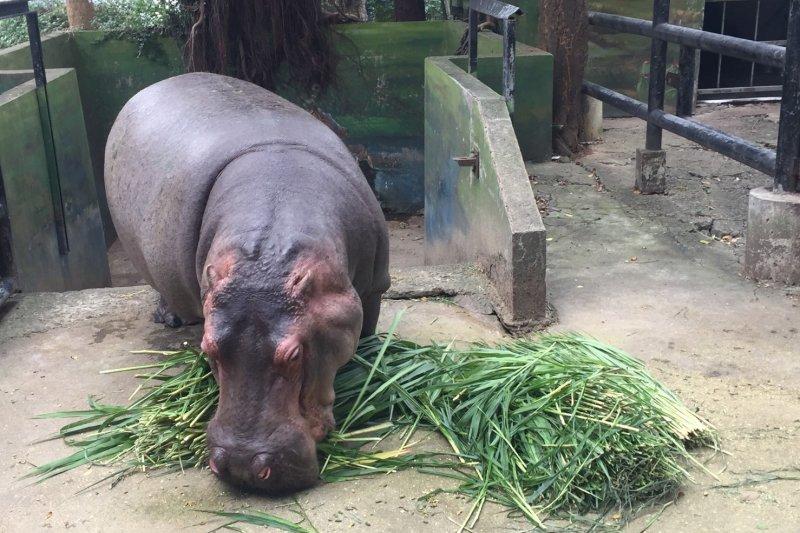 日前非洲肯亞發生一起2名台灣人遭河馬攻擊,導致一死一傷悲劇,新竹市立動物園園長楊家民對此表示,河馬雖然看似溫順可愛,但其實攻擊能力非常強。﹝資料照,新竹市立動物園﹞