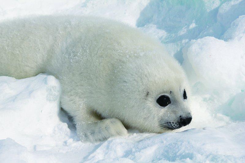 可愛海豹在極地的生活看似悠閒,其實危機重重...(圖/時報出版提供)