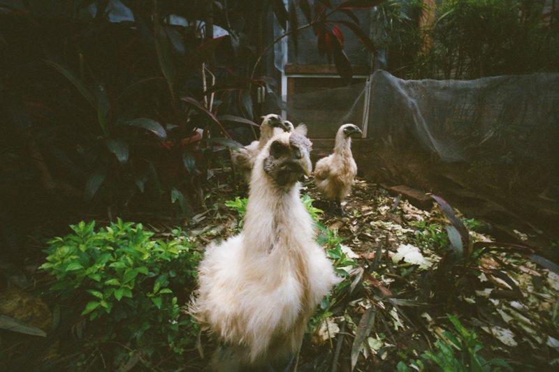 禽流感疫情持續擴大,13日又爆出在嘉義一處烏骨雞私宰場發現H5N6疫情。圖為示意圖,非該私宰場。(圖/芥末尾@Flickr)