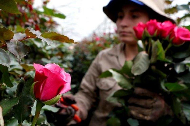 在哥倫比亞中部的法卡塔蒂瓦(Facatativa),一個農場工人為情人節採摘玫瑰花,凖備出口到外國。(圖取自BBC中文網)