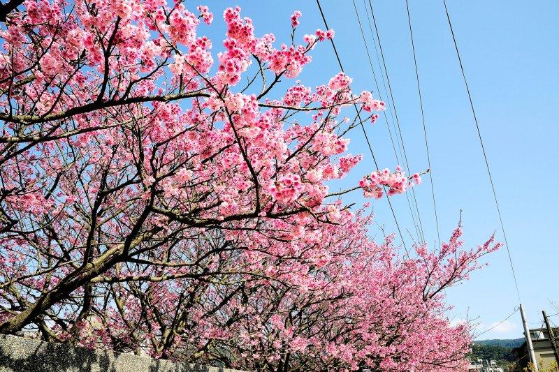 想看美麗的櫻花不用出國,台灣就有!(圖/Sinchen.Lin@Flickr)