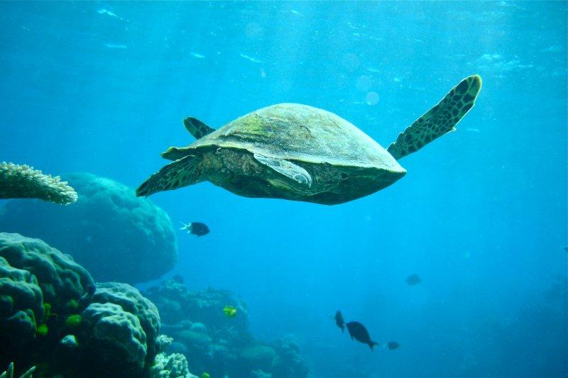 海中遨遊的海龜,需要我們一起保護。(圖/gjhamley@flickr)