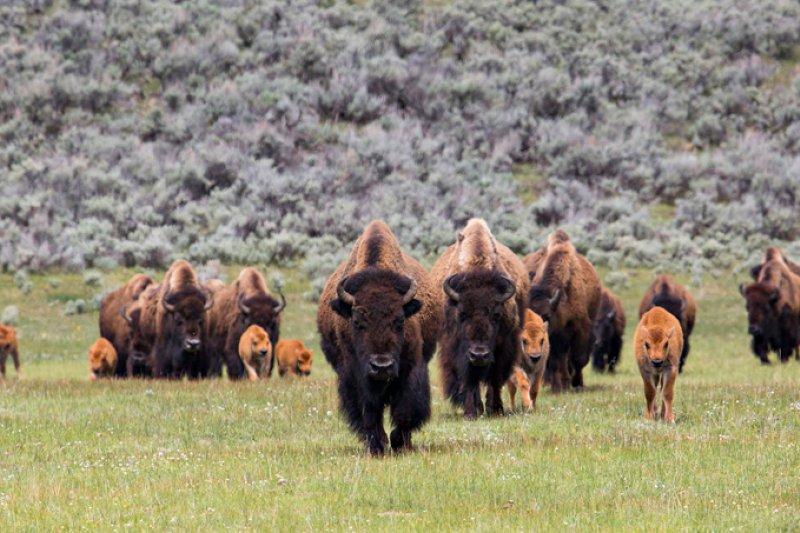 黃石國家公園擁有最美國最古老和最大的美國野牛群。(圖取自National Park Service)