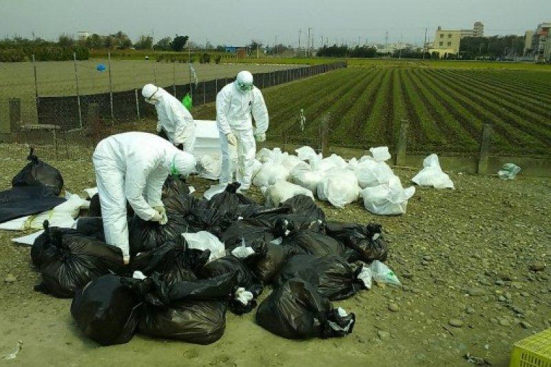 彰化縣鹿港鎮一處土雞場被確診感染禽流感,防疫人員今撲殺全場6958隻土雞並消毒。(資料照,彰化縣動物防疫所提供)
