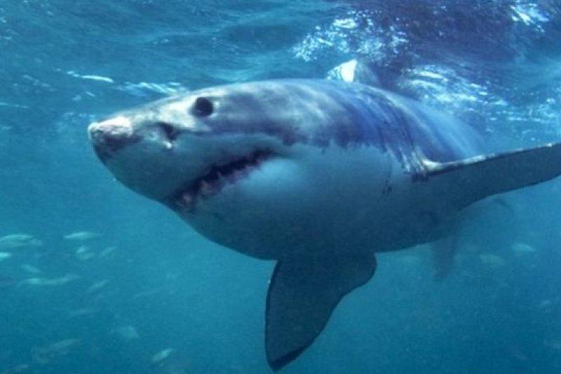 科學家發現裝在鯊魚身上的定位標籤被非法獵捕者用來追蹤和獵殺牠們。(BBC中文網)