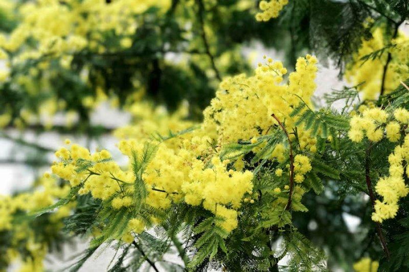 銀荊花。(曾廣儀攝)