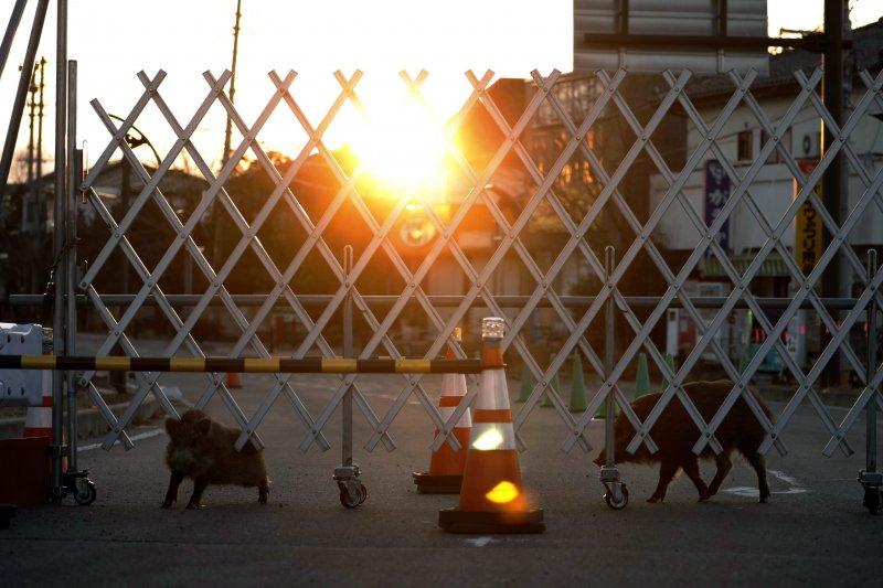 2017年3月11日,兩隻野豬在福島第一核電廠附近的封鎖區域內遊蕩。(美聯社)
