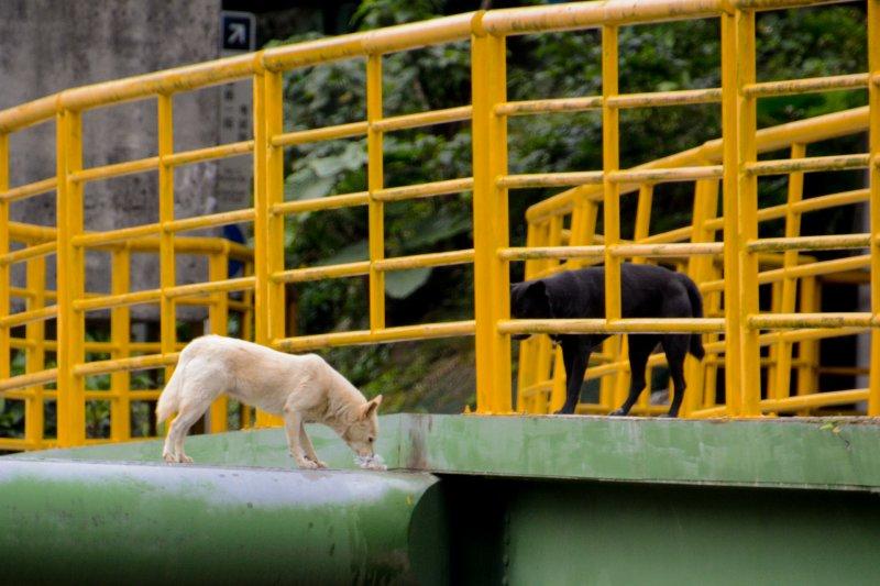 13.專題配圖-流犬專題-在行人專用道的欄杆裡外.牠們都是流浪狗.不會再回復為毛小孩了.(陳明仁攝)