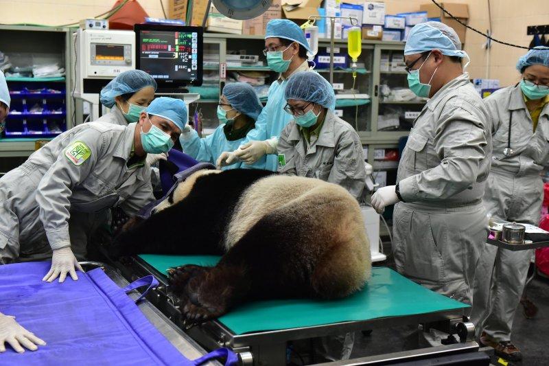台北市動物園獸醫師除了進行人工繁殖作業外,也把握機會為「團團」和「圓圓」進行了健康檢查。(台北市動物園提供)