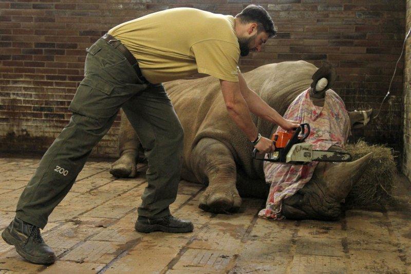 為了保護犀牛免遭盜獵者毒手,捷克動物園「先下手為強」鋸掉犀牛角(AP)