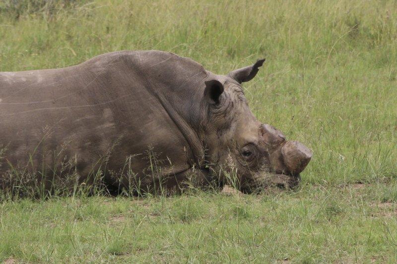 被鋸掉角的犀牛(AP)