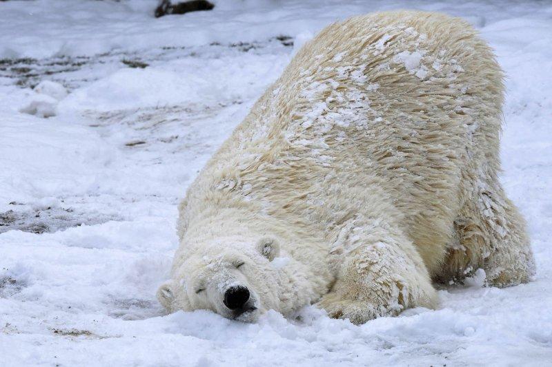 北極冰層大幅消退,許多北極熊長途游泳疲累致死。(美聯社)