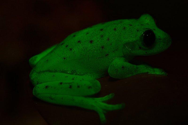 科學家認為螢光可以幫助南美圓點紋樹蛙吸引配偶。(阿根廷國家科學及科技研究委員會CONICET)