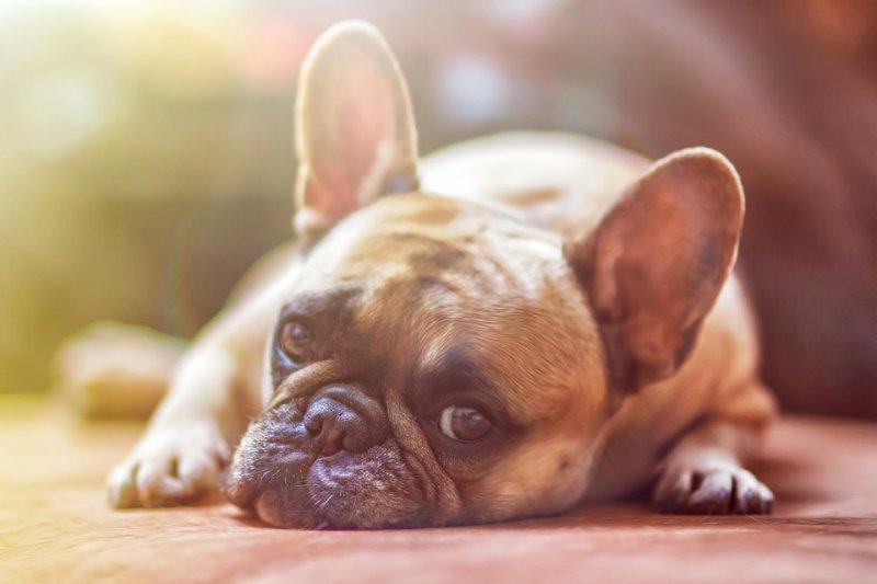 很多品種的狗狗並不適合繁殖或是養在家裡當寵物,而人類卻只看到了自己的喜好。(圖/lightstargod@pixabay)