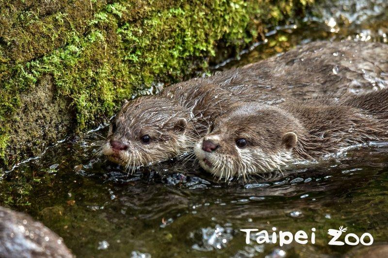2017-04-03-台北市木柵動物園-小爪水獺雙胞胎-木柵動物園提供