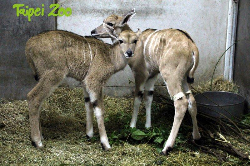 2017-04-03-台北市木柵動物園-同一天出生的伊蘭羚羊寶寶-木柵動物園提供