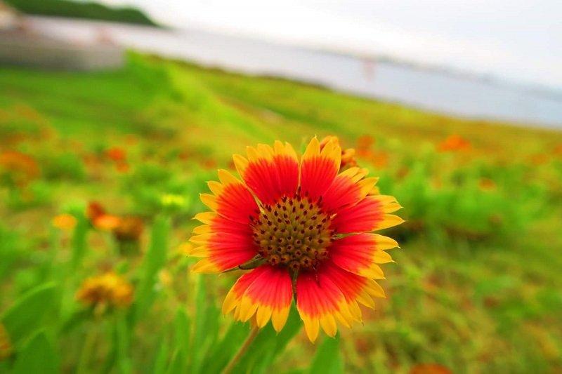 澎湖的天人菊耐旱抗鹽而得以在澎湖遍地生長,因此澎湖又名「菊島」。其生命力強韌、不卑不亢、鮮豔得驕傲,澎湖人以其自許,「風吹到哪裡,就在哪裡生根」。(吳忻穎攝)