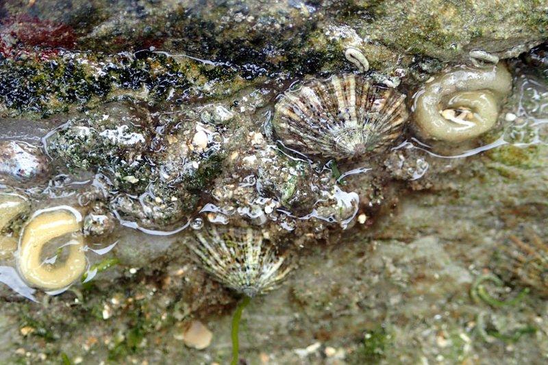 目前是笠螺的產卵季節,提醒遊客不要破壞海洋生態。(圖/民眾提供)