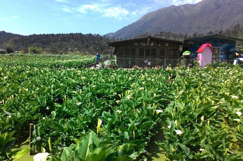 陽明山頂湖地區海芋花況佳! 想看夢幻白色花海來這裡就對了(台北市政府提供)