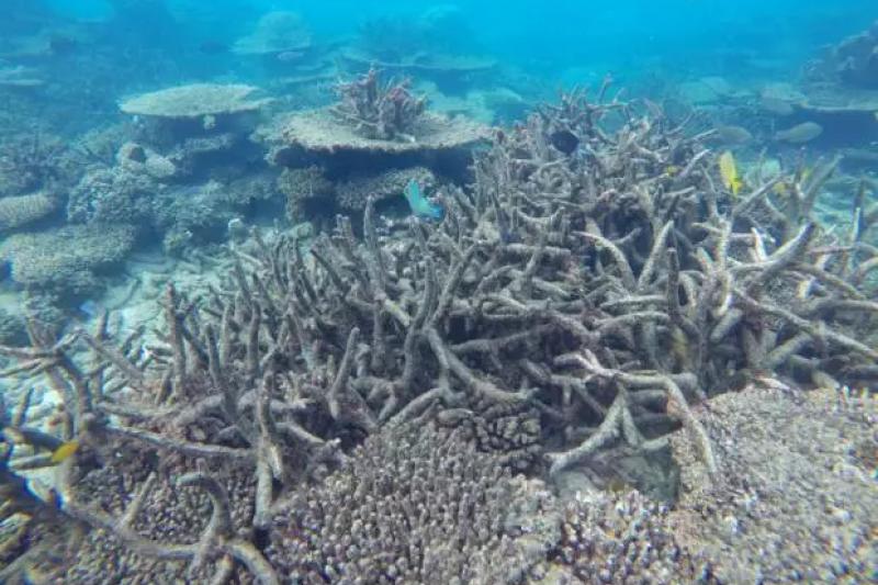 2016年11月,大堡礁北段死亡的鹿角珊瑚(美聯社)