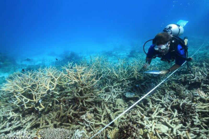 10月31日發表在《自然》期刊上的最新研究指出,最近25年來,海洋吸收的熱量遠比估計的還增加60%。圖為2016年10月,科學家正在查看大堡礁北段的珊瑚死亡情況。(AP)