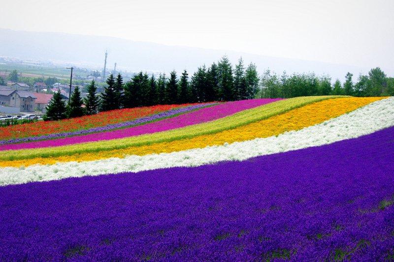 北海道除了滑雪、泡湯之外,還有浪漫花海等著你!(圖/pika1935@flickr,HotelsCombined提供)