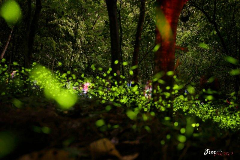 每年4、5月是螢火蟲繁殖季節,新北市許多景點都能看到螢火蟲的蹤跡。(圖/新北市政府客家事務局提供)