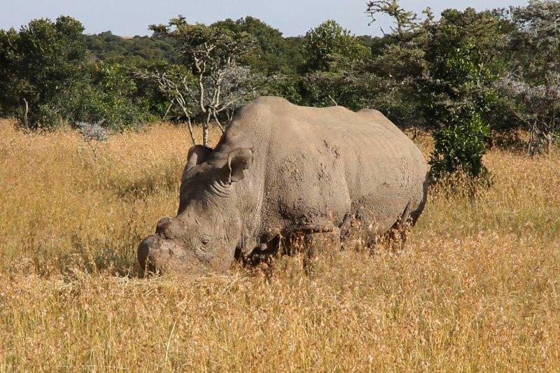 全球碩果僅存雄性北白犀牛「蘇丹」(Lengai101@Wikipedia / CC BY 3.0)