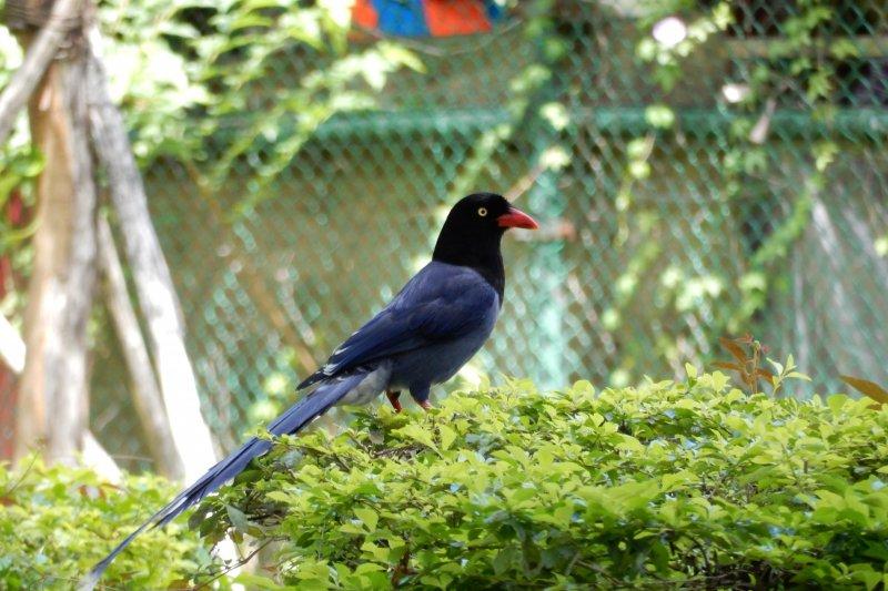 北市動保處近期接獲通報,士林、中山區發生多起台灣藍鵲飛撲民眾事件,並有民眾以BB槍、棍棒回擊,此舉恐將觸犯《野生動物保育法》。(北市動保處提供)