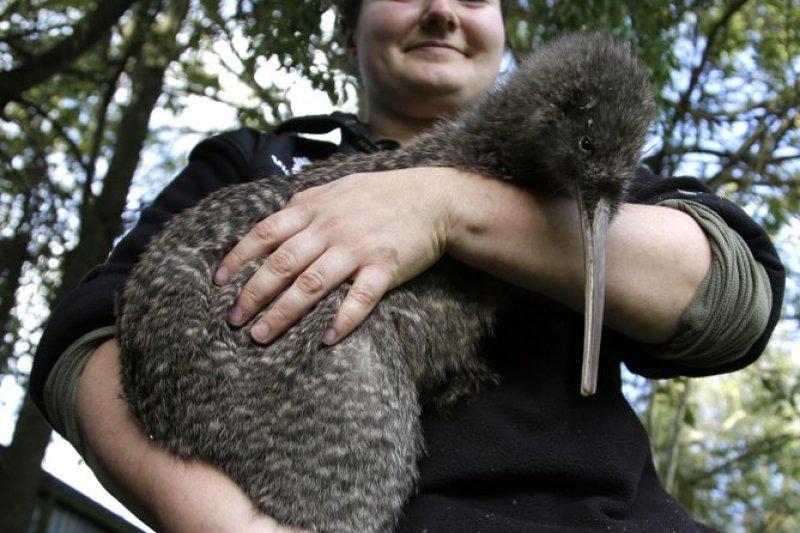 紐西蘭、保育、奇異鳥(Kiwi)。(AP)
