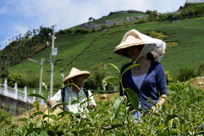 太平四村遊程將帶您體驗茶鄉之美、品咖啡香喉韻回甘、野菜香草療癒身心,高山風韻盎然,阿里山西北廊道之美宛如人間仙境。〔阿里山管理處〕