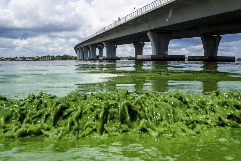 美國佛州潟湖藻類暴增,危及當地生態。(美聯社)