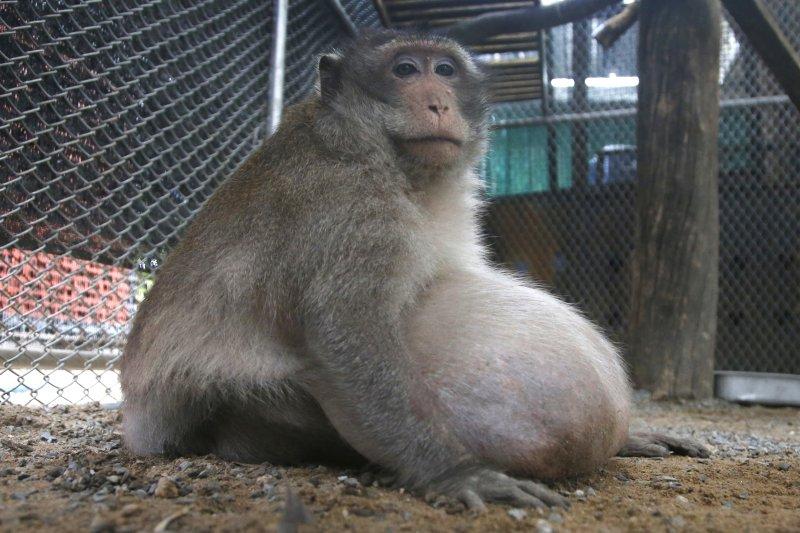 泰國胖猴「肥叔叔」。(美聯社)